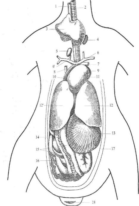Железы Либеркюновы