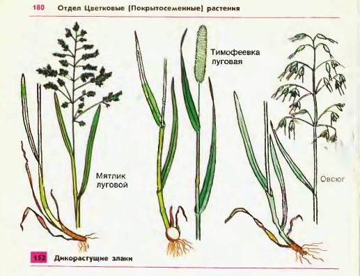 Зерновое растение схема