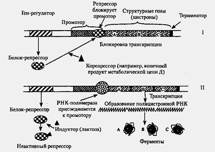 Регуляция активности генов схема жакоба моно