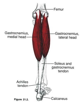 gastrocnemius muscle - HD1063×1350