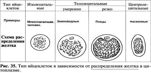 Отличие овогенеза от спермотогенеза