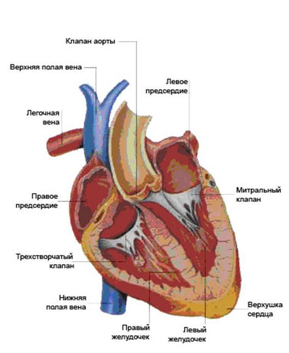 Левокардия