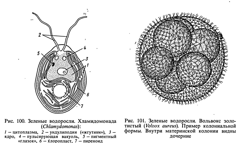 вольвокс строение таллома