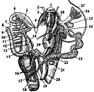 Анус человека  Википедия