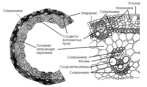 Первичное строение стебля травянистых двудольных растений