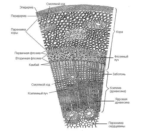 Строение стебля древесных растений