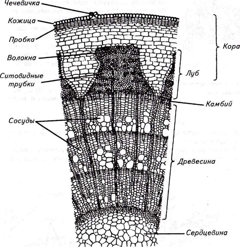 Внутреннее строение трехлетнего стебля липы картинка