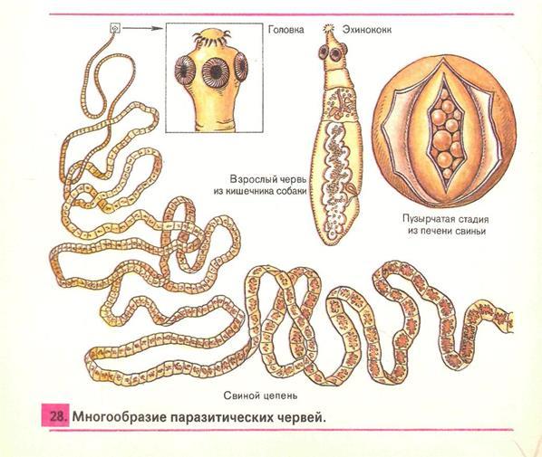 виды паразитов в организме человека анализы