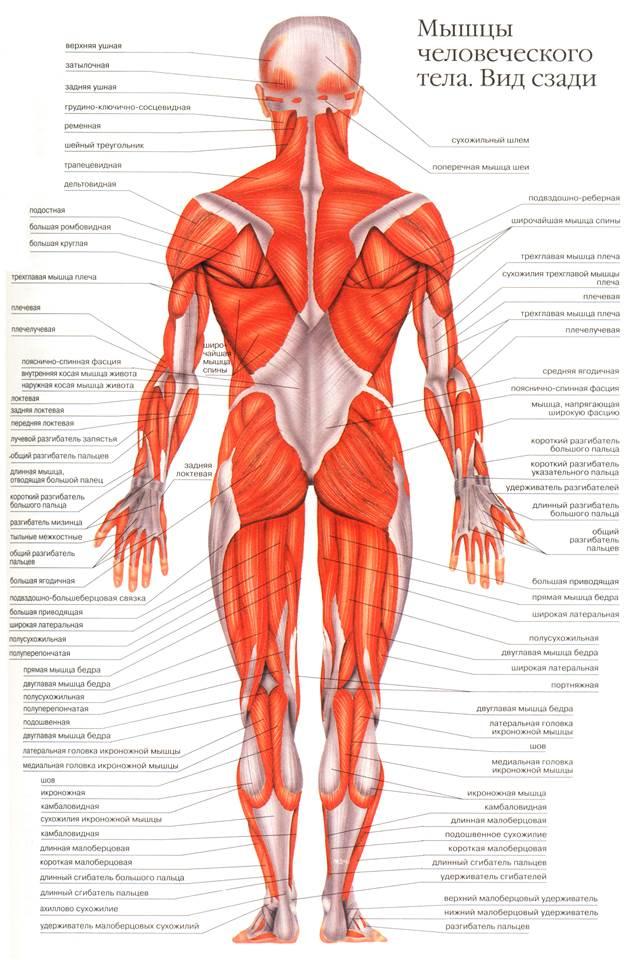 мышцы на скелете человека в картинках