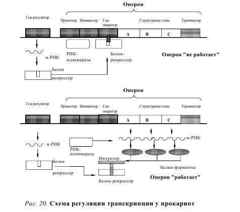 operon hypothesis