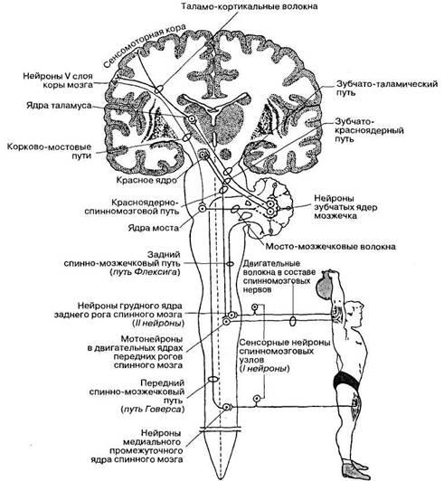 2Мозжечковые пути схема