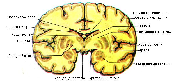Базальные (подкорковые) ядра и белое вещество конечного мозга