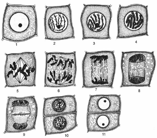 кончике корня лука (схема)
