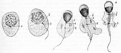 Гистологическое строение сперматозоида