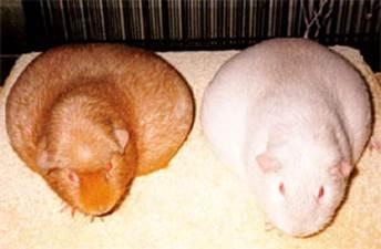 Чем опасны морские свинки для беременных