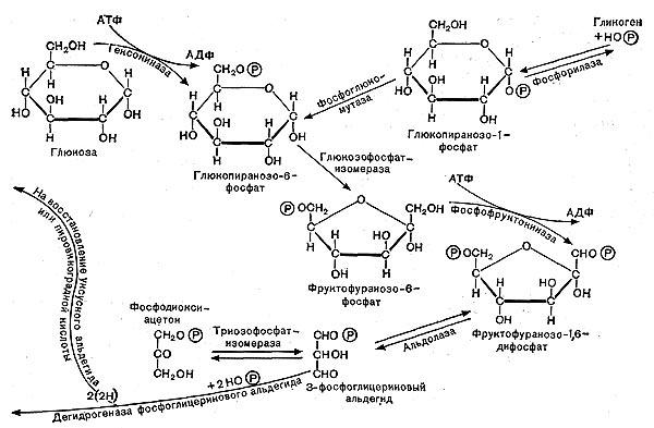 Схема гликолитического пути