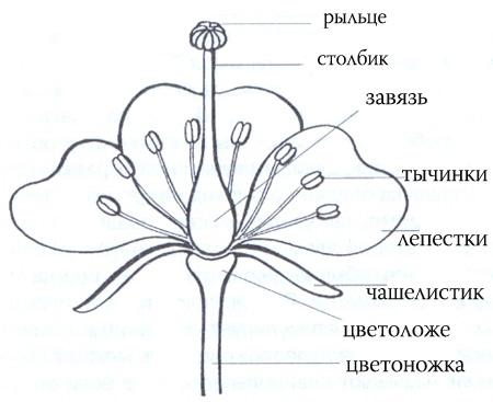 Лебеда цветок