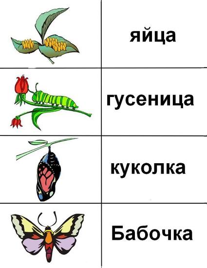Развитие бабочки схема описание