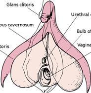 передние половые губы фото
