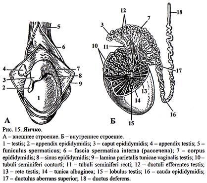 выбритый мужской пенис и яички