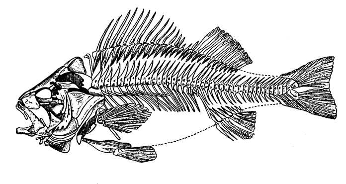 У рыб наиболее развиты следующие отделы головного мозга средний мозг, мозжечок и продолговатый мозг