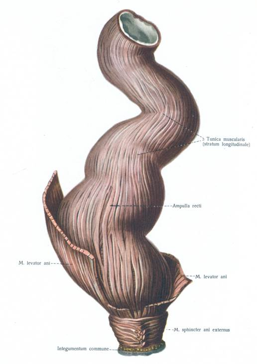 Прямая кишка анатомия у мужчин и женщин длина