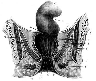 stroenie-analnogo-otverstiya-cheloveka