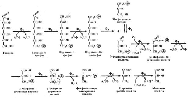 Гетероферментативное молочнокислое брожение суммарный энергетический выход
