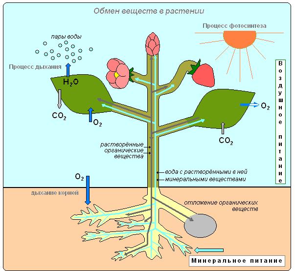 комнат Тельмана презентация передвижение веществ в растении 6 класс биология представляет