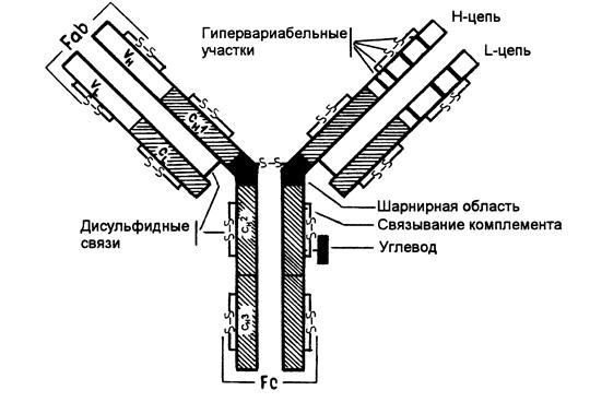 Строение антител иммуноглобулинов 26