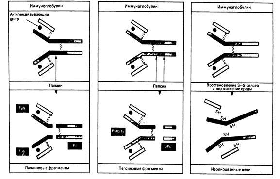 Строение антител иммуноглобулинов 27