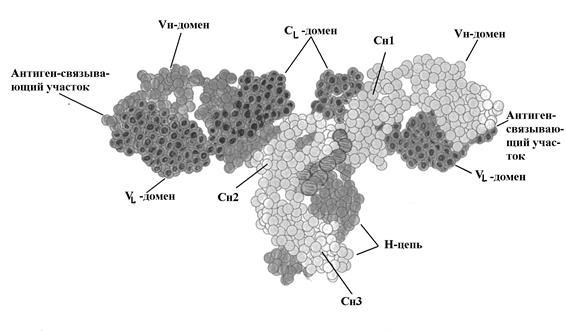 Строение антител иммуноглобулинов 28
