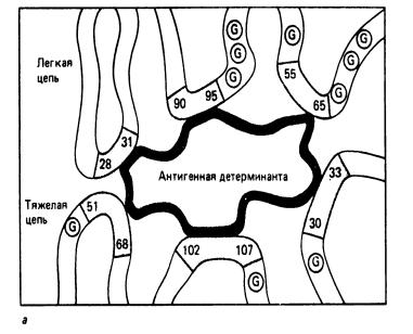 Строение антител иммуноглобулинов 29