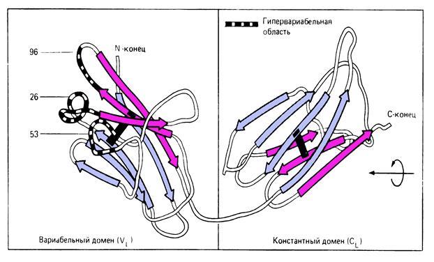 Строение антител иммуноглобулинов 32