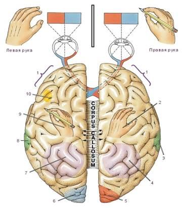 fissura transversa cerebri
