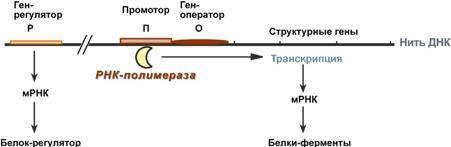 теорія оперона