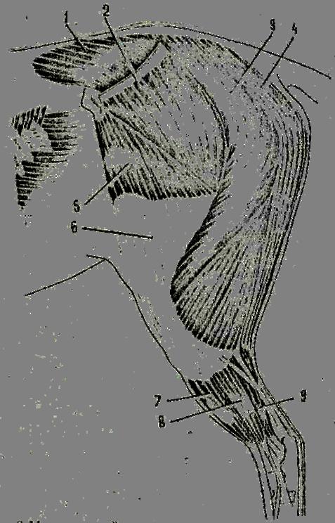 Мышцы деиствующие на тазобедренный сустав рентгеновские снимки плечевого сустава