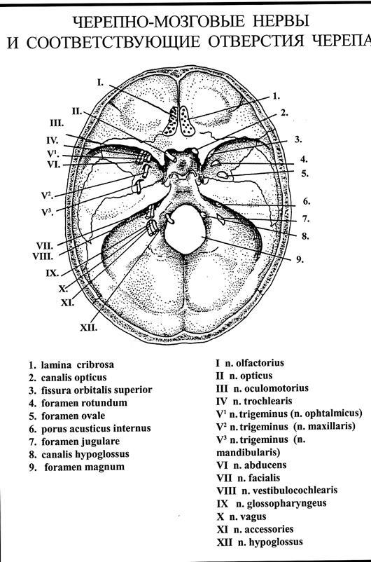 Черепно-мозговые Нервы Шпаргалка