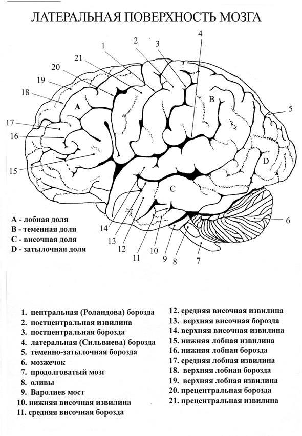 Схема черепно мозговой топографии кренлейна