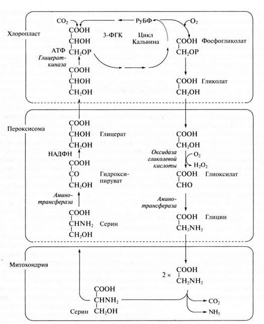 Схема взаимного превращения пластидов