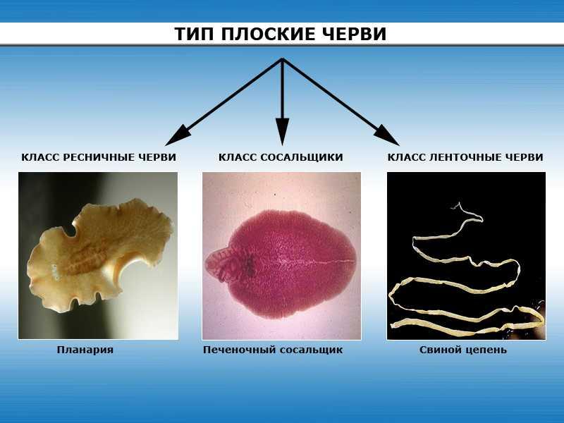 Тип плоские черви общая характеристика