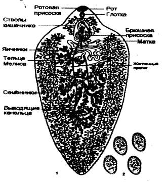 Печеночный сосальщик форма яйца