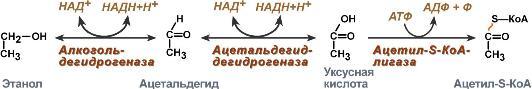 Обезвреживание этанола - Студопедия