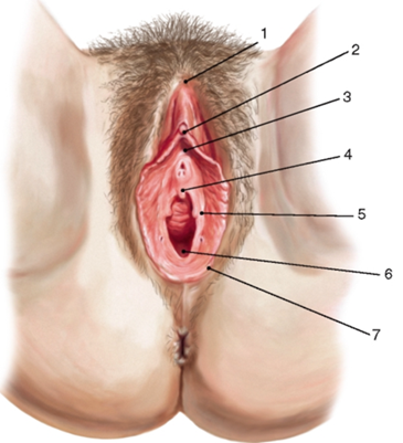 фото разновидность женских половых органов