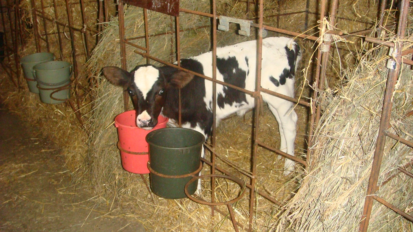 Как выращивать теленка в домашних условиях 637