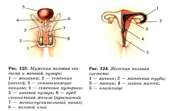 При созревании сперматозоидов