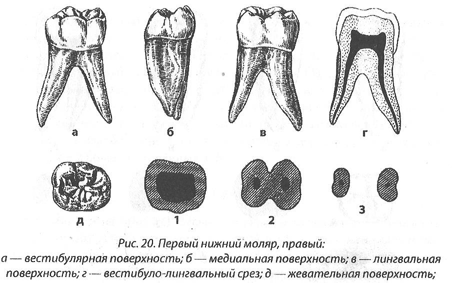 фото корня жевательного зуба