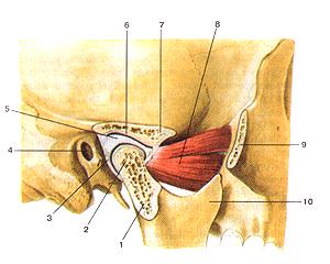 Взаимосвязь между формой и функцией височно-нижнечелюстного сустав яблочный уксус для суставов растирать
