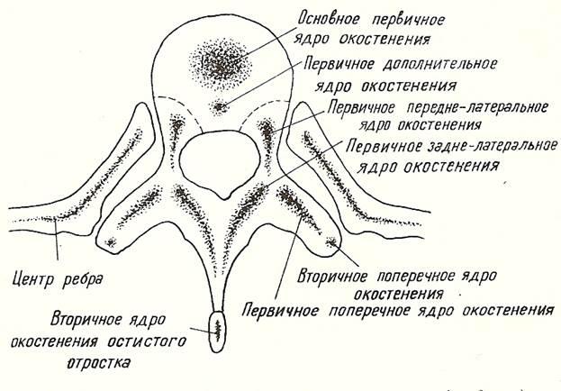 Последовательные стадии развития большеберцовой кости: точками показаны части, окостеневающие энхондрально