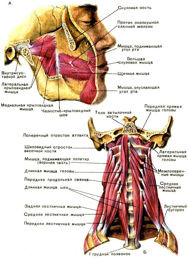 Muscle anatomy neck